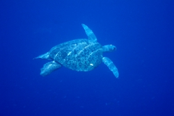 Green turtle Photo by DES