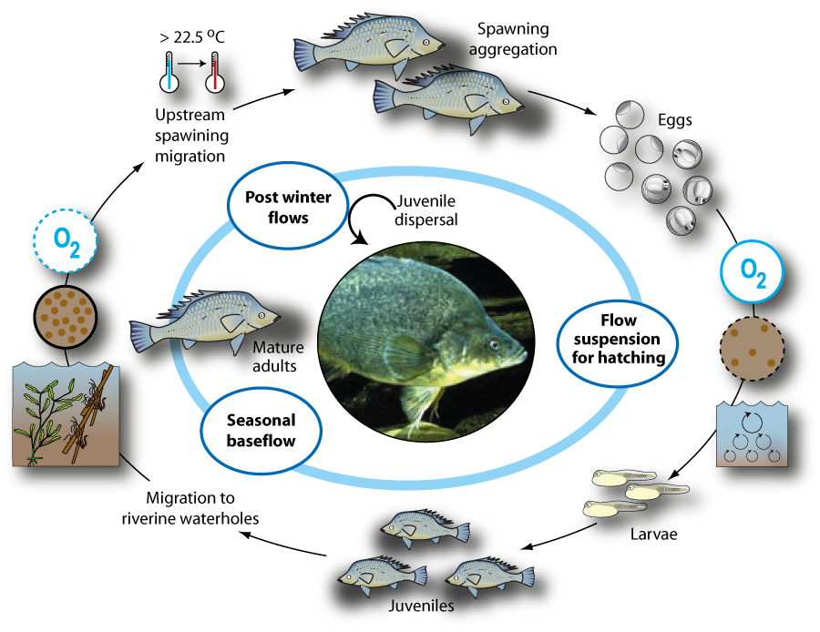 Life cycle of golden perch macquaria ambigua department for Fish life cycle