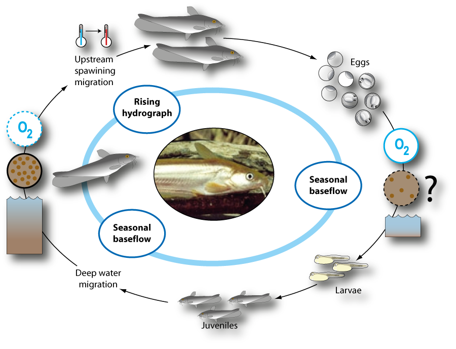 Life cycle of hyrtl 39 s catfish neosilurus hyrtlii for Fish life cycle