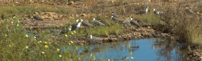 Masked lapwings at Croydon Photo By Chris Sanderson