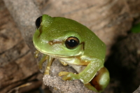 Litoria caerulea, Photo by Dr Harry Hines