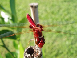 Libellid dragonfly—wandering percher, Photo by Chris Sanderson