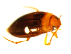 Water beetle Photo by Water Planning Ecology Group, DSITIA