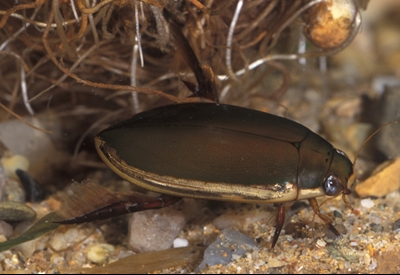 Water beetle Photo by Queensland Museum