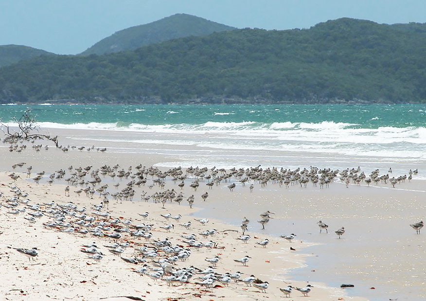Shorebirds and terns roosting during high tide at Shoalwater Bay Photo by Roger Jaensch