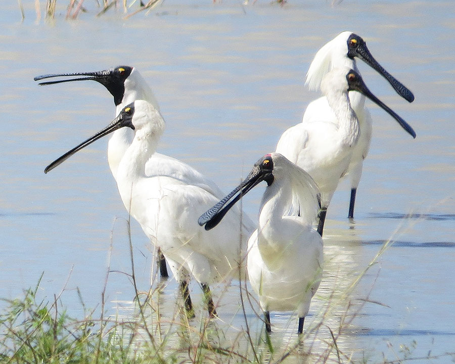 Royal spoonbills Photo by Roger Jaensch and Carpentaria Land Council Aboriginal Corporation