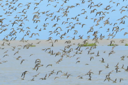 Shorebirds in flight South East Gulf of Carpentaria Photo by Roger Jaensch
