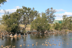 Island habitat is sort after realestate, UQ Gatton Campus Photo by Lockyer Regional Council