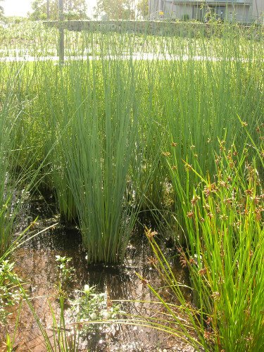 Dense vegetation provides suitable conditions for denitrification. Photo by Queensland Government