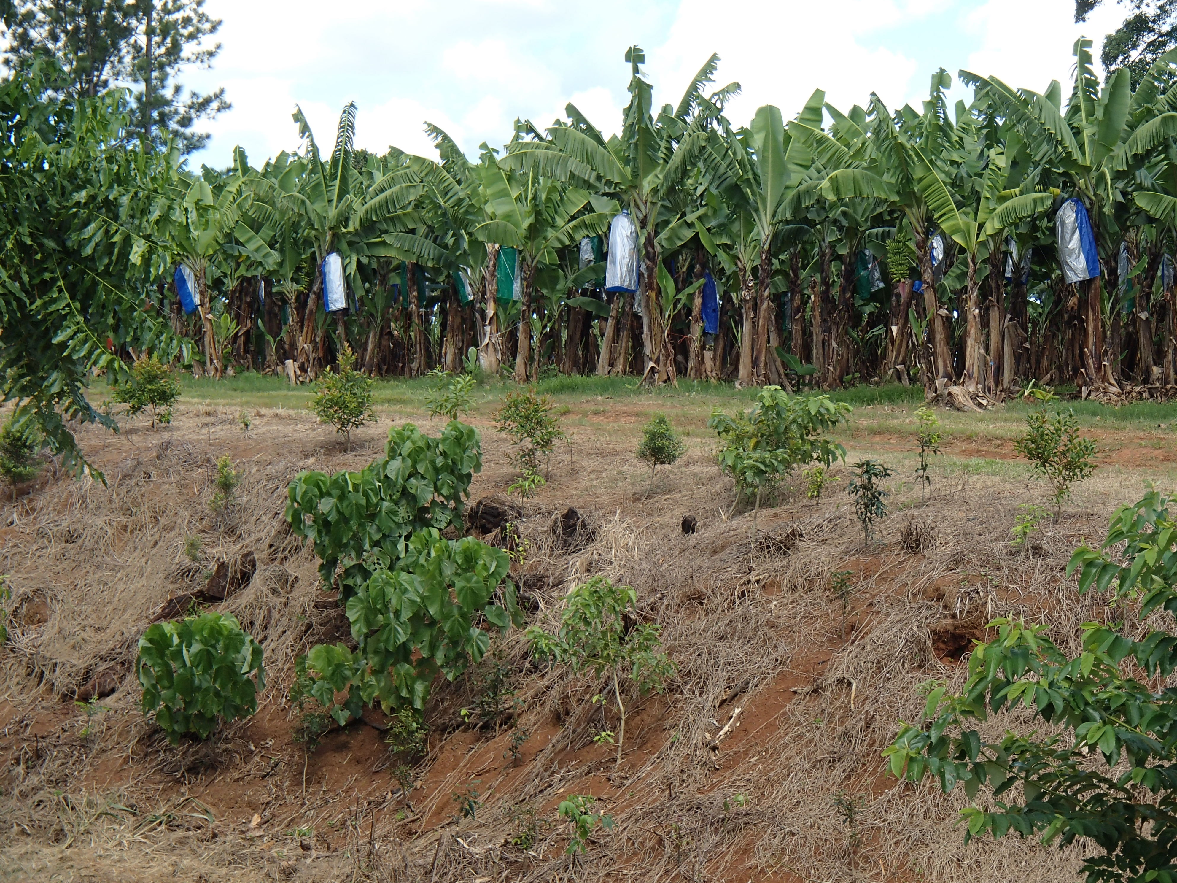 Bank revegetation on a banana farm. Photo by Queensland Government.
