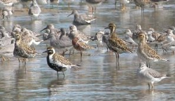 Mixed Waders at Thornside, Photo by Laurie Knight