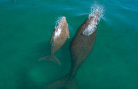 Dugong and calf Photo by Queensland Government
