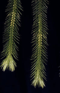 Blue tassel fern Photo by Fagg, M. (Atlas of Living Australia)
