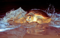 Loggerhead turtle Photo by Queensland Government