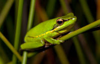 Wallum sedgefrog Photo by Troy Bell (Atlas of Living Australia)