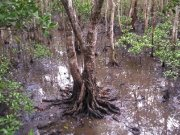 Mangrove, Photo by Cathy Ellis